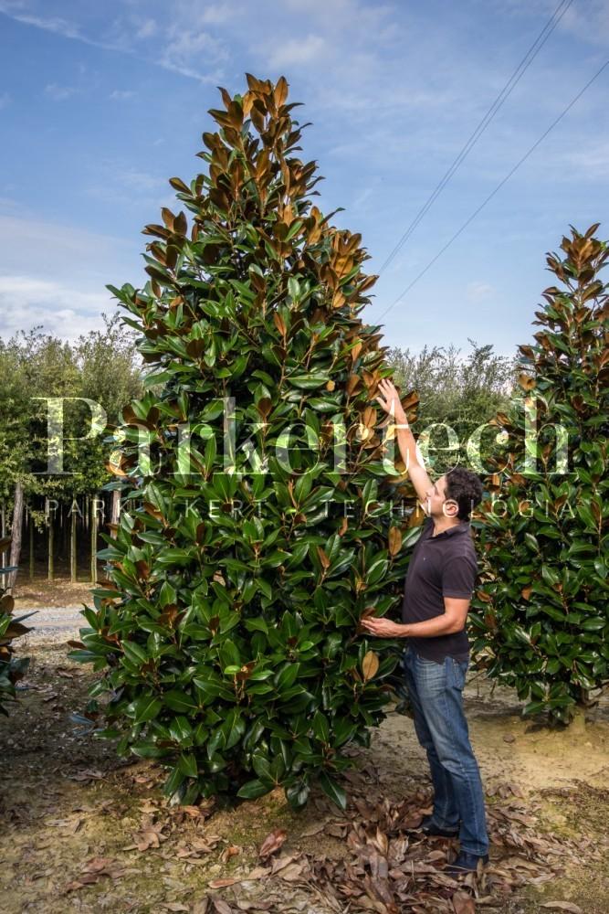 Magnolia grandiflora parkertech - Magnolia grandiflora cuidados ...