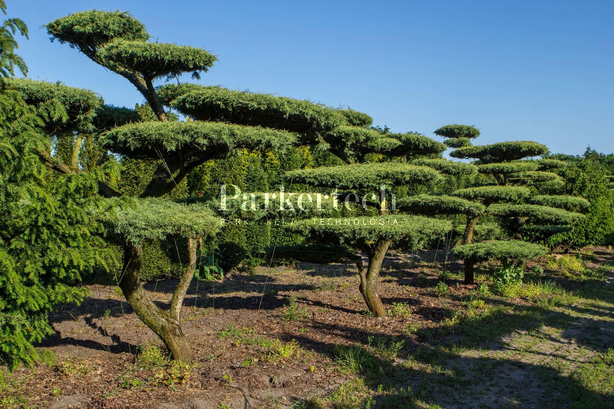 pinus sylvestris watereri 39 bonsai alakfa parkertech. Black Bedroom Furniture Sets. Home Design Ideas